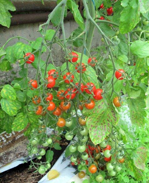 Tomater, kirsebær2