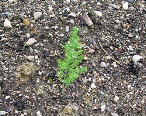 Aspargesplante, liten2
