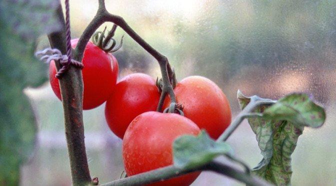 Tomatene modnes!