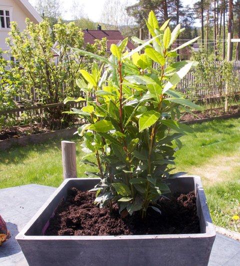 Laurbærplante