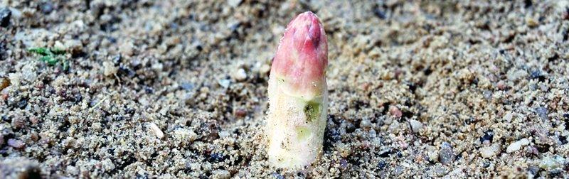 Verdens beste asparges, -hva du kanskje ikke visste?