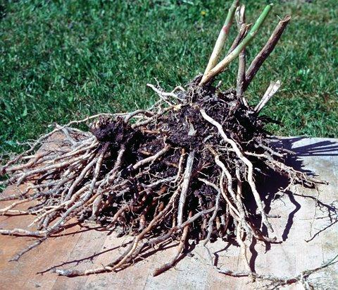 Aspargesplante